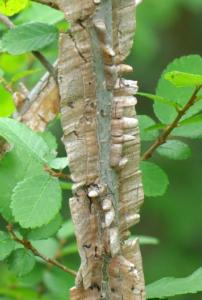 درخت ملچ بالدار که به دلیل داشتن پره های چوب پنبه ای این نام را به او داده اند