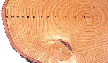 تفاوت بین چوب بیرونی و چوب مرکزی درخت چیست؟