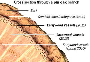 لایه زاینده در یک درخت که چوب را تولید میکند لایه بیرونی است