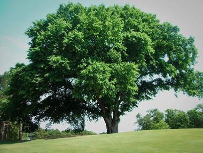 دانستنی هایی راجع به درخت و چوب نارون -  آشنایی با درخت نارون