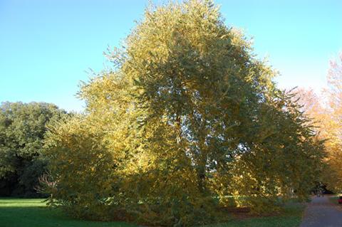 دانستنی هایی راجع به درخت و چوب نارون -  درخت نارون پوست گیلاسی