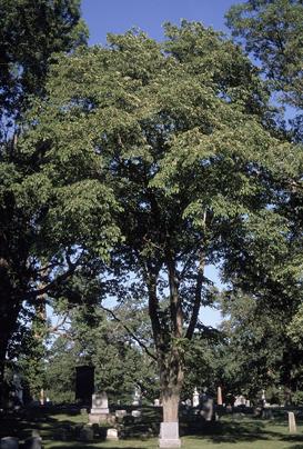 دانستنی هایی راجع به درخت و چوب نارون -  درخت نارون لرزان