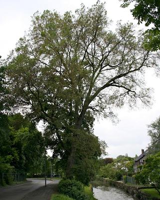 دانستنی هایی راجع به درخت و چوب نارون -  درخت نارون سفید اروپایی