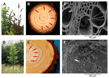 دانستنی هایی راجع به درخت و چوب نارون -  بیماری آسیب زننده به چوب درخت نارون