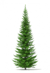 درخت کاج نوئل