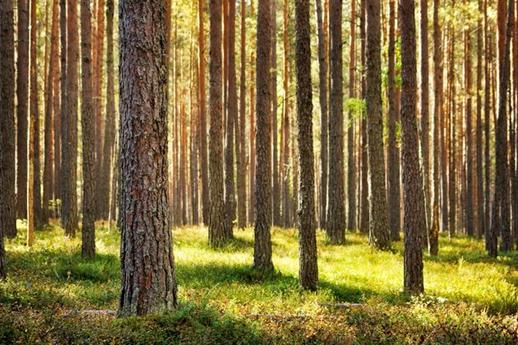 دانستنی هایی راجع به تفاوت درخت های سرو و کاج -  آشنایی با تفاوت چوب درخت های سرو و کاج