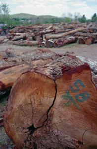 تنه درخت  مربوط به چوب ماهون