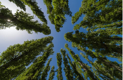 چوب درخت تبریزی