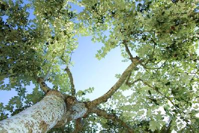 درخت سپیدار