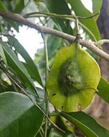 میوه درخت پادوک