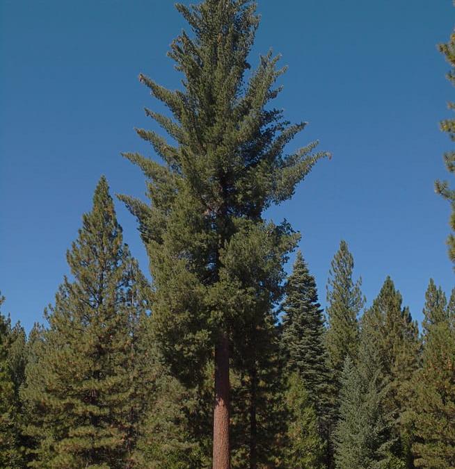 تحقیق در مورد چوب , چوب کاج قلبی, شناخت چوب کاج 2