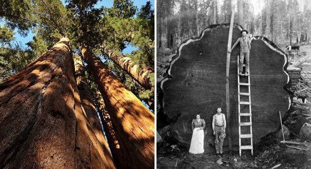 درخت سکویا , درخت غول پیکر آمریکایی