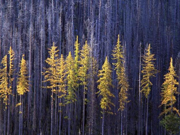 درختان کاج , تصویر یک جنگل کاج