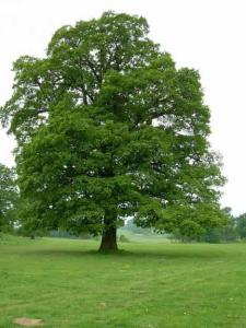 درخت چوب بلوط
