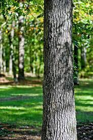 تنه و پوست درخت بلوط