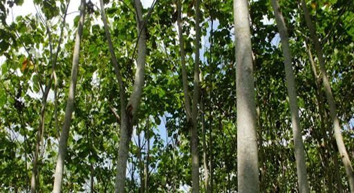 رویش درخت بالسا در مناطق استوایی و بارانی