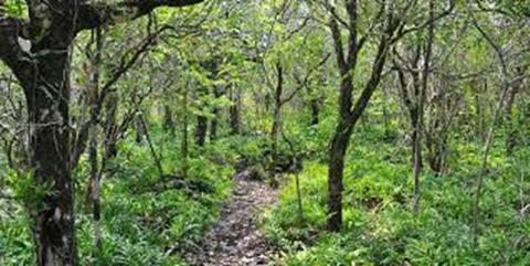جنگلی از درختان آبنوس