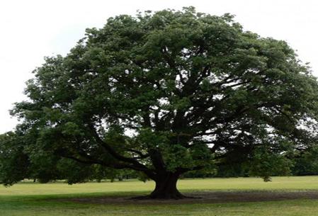 نمونه ای از درخت بلوط