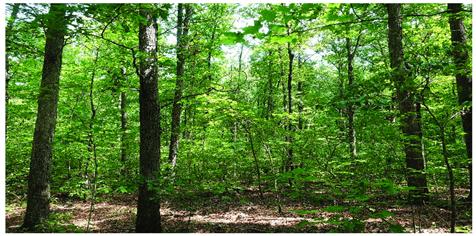 جنگل درختان بلوط