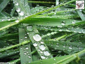 قطرههای آب بر سطح هیدروفوب گیاه