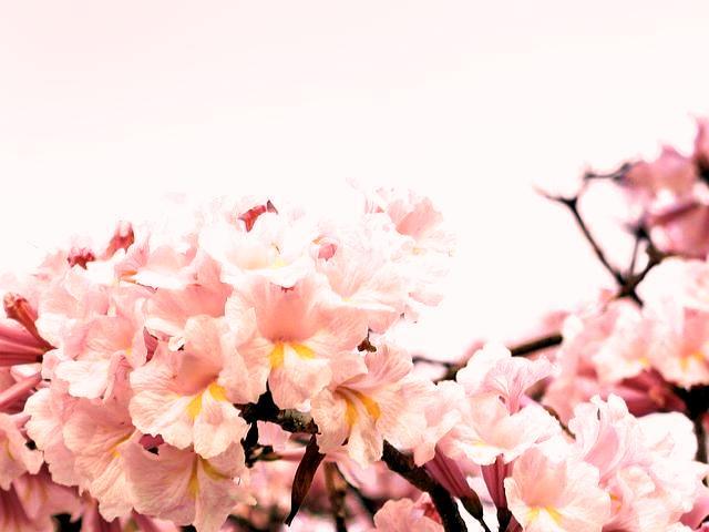 گل سفید درخت Ipe تابهبوئیا (نام علمی: Tabebuia)