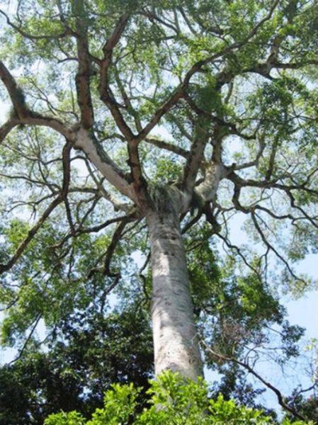 عکس درخت ماهون