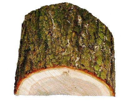 چوب بلوط ، درخت بلوط