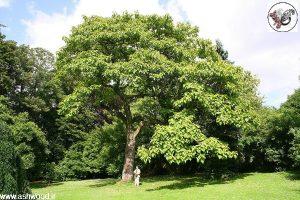 درخت زیبای پالونیا