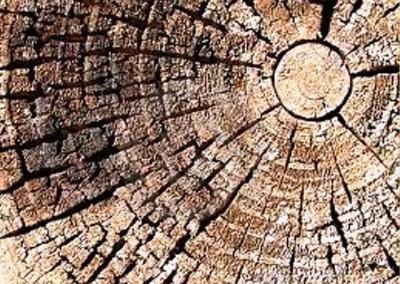 چوب کاج چوب درخت کاج ، tree Pine wood