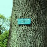 راسته گیاهان و درختان نعناسان مانند چوب اش