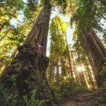 Redwood Acacia چوب ردوود اکاسیا
