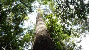 بلند ترین درخت