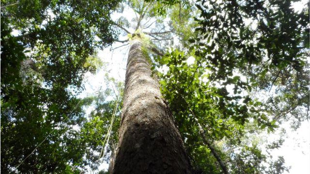 شناسایی بلندترین درخت استوایی در مالزی, بزرگترین درخت جهان