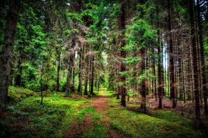 عکس درخت کاج Pinus