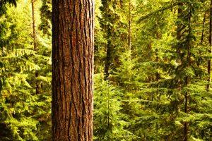 عکس درخت کاج