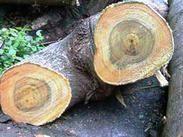 تنه درخت توت