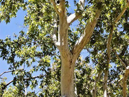 درخت چنار آریزونا درخت چنار آریزونا