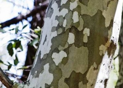 درخت چنار آریزونا