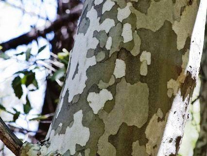 کنده درخت چنار